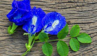 Hoa đậu biếc: Không chỉ đẹp da mà còn tốt cho tim mạch!